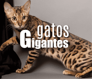 gatos-gigantes-2