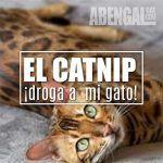 Catnip ¿Drogarías a tu gato?