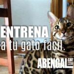 Como entrenar a un gato para que haga trucos de manera fácil.