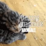 Nacimientos de gatos híbridos 50% leopardo en abengalcat