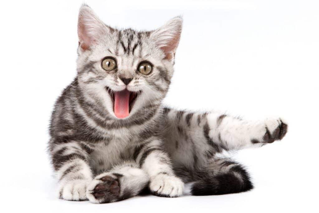 maullido de gato 2