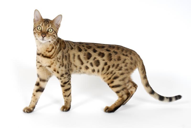 quizzes de gatitos