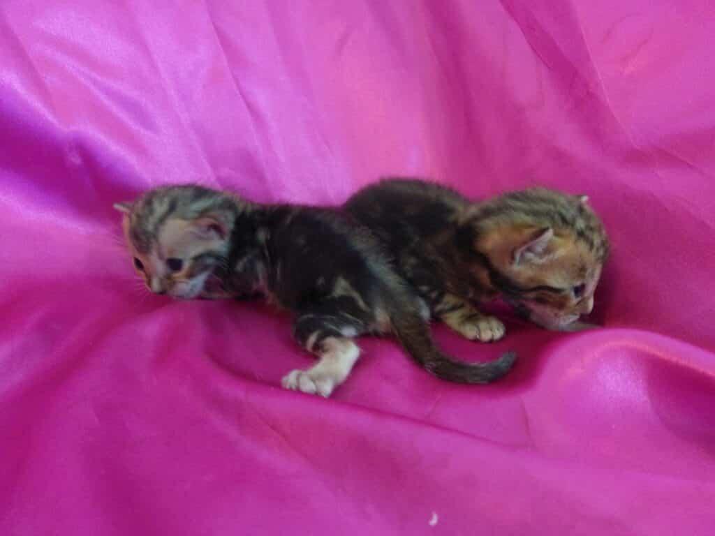 gato bengali marmolado