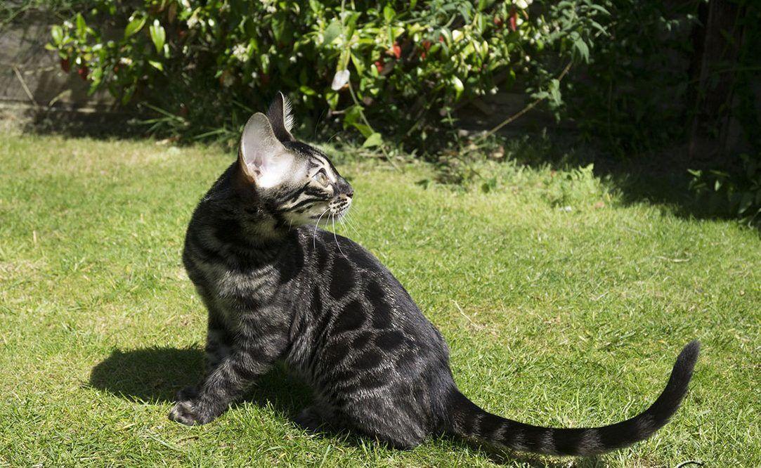 bengal cat charcoal