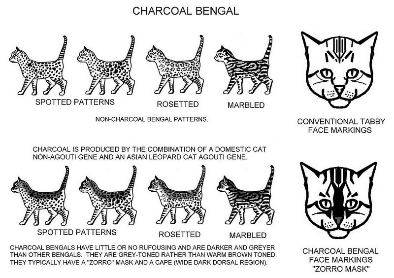 charcoal bengalcat-8