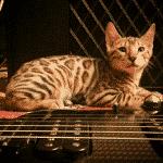 Gato exótico ¿Es una raza o son todos los gatos finos?