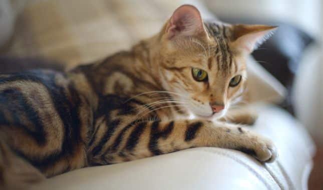 gato bengali en mexico 3
