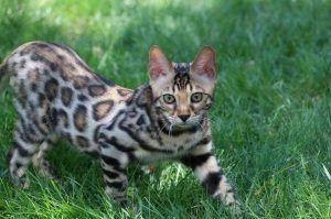 gato bengali en mexico 2