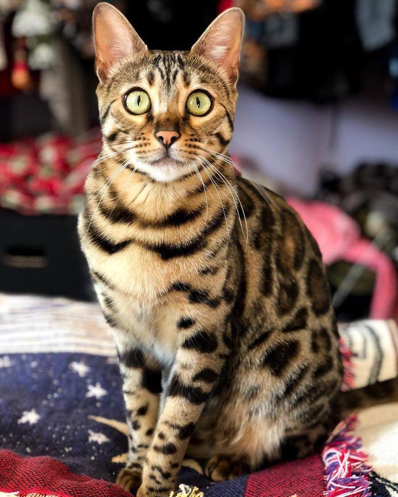 mitos sobre los gatos 8