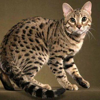 gato que parece leopardo 2