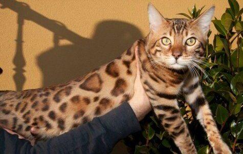 gato que parece leopardo 3