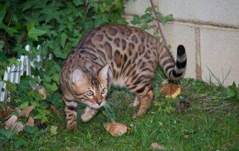 gato que parece leopardo 4