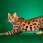 El gato que parece leopardo