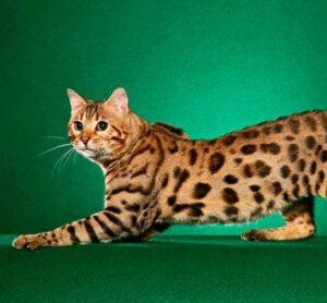 parece leopardo