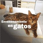 Envenenamiento en gatos bengal y otras razas.