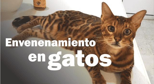 Envenenamiento en gatos