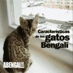 Características de los gatos bengal