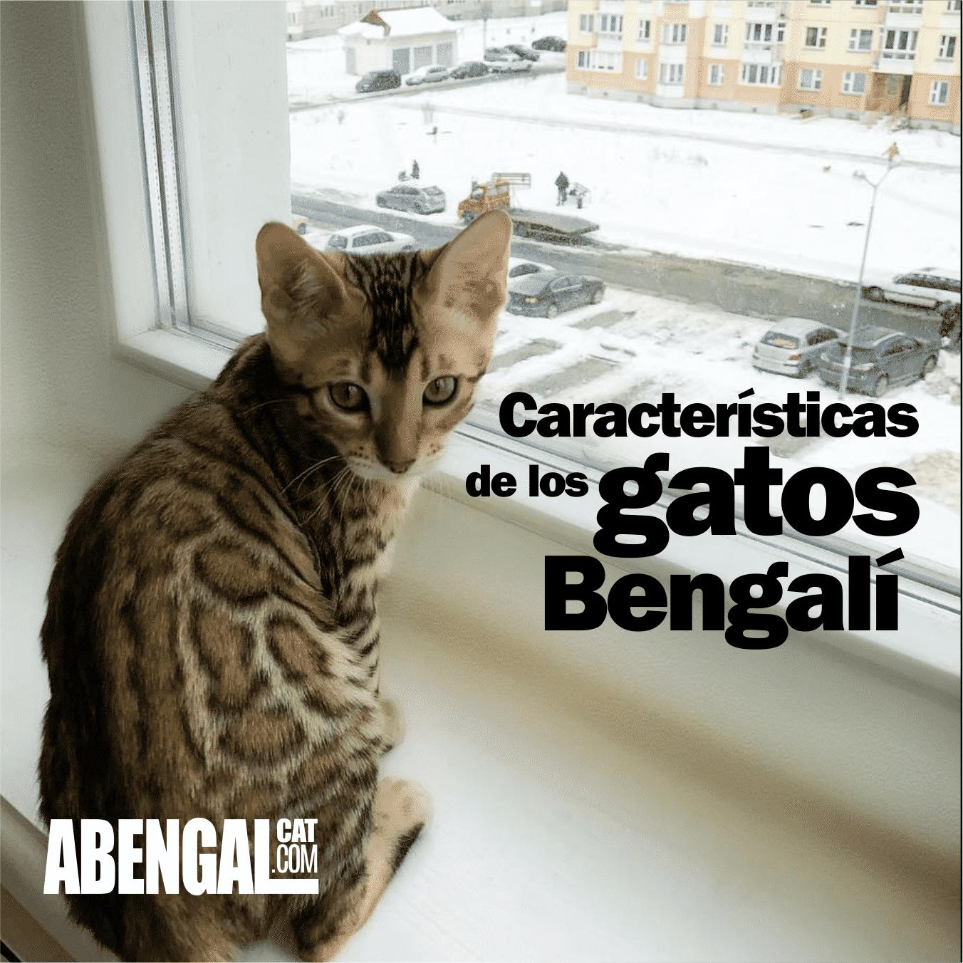 caracteristicas-de-los-gatos-bengali