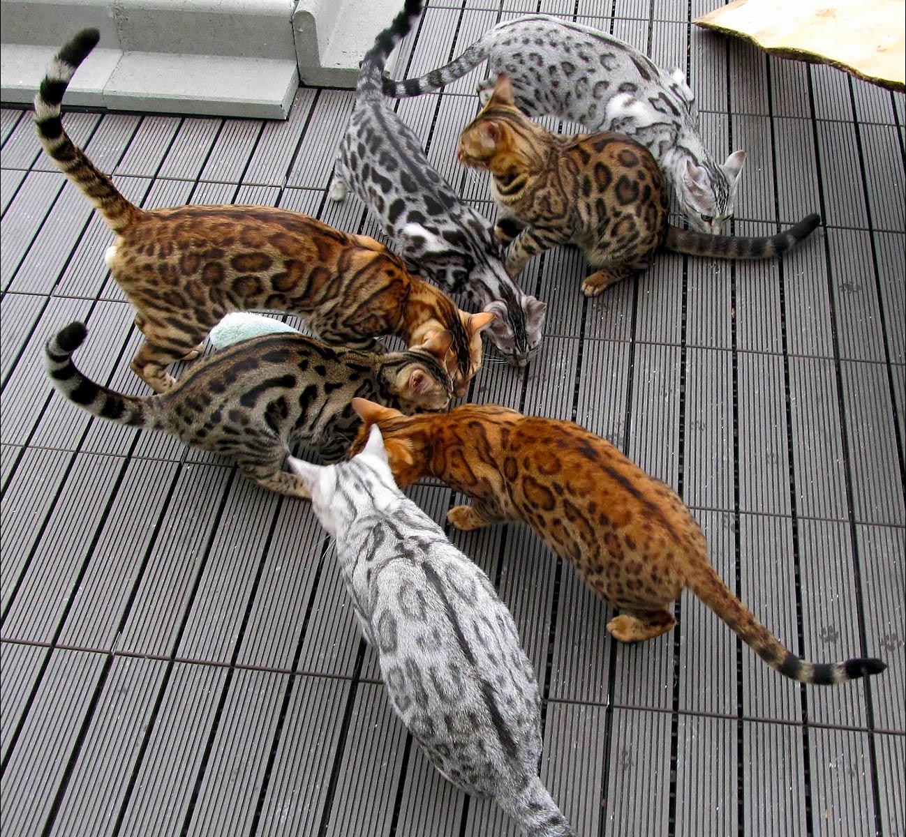 colores-de-gato-bengal