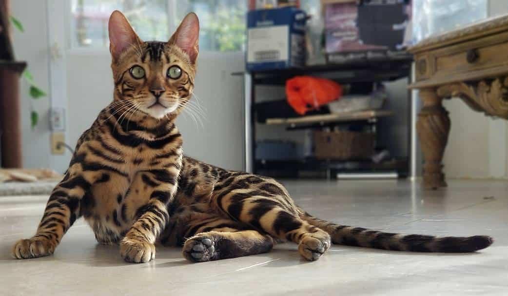 comprar gato bengali 2