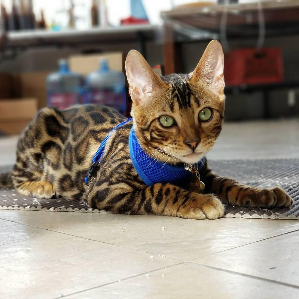 comprar gato bengali 3
