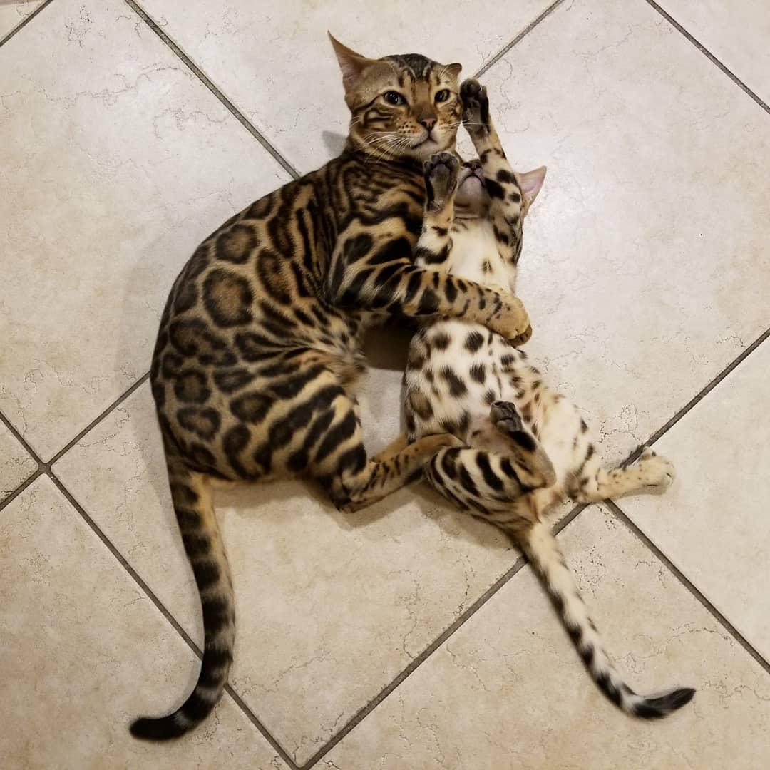 comprar gato bengali