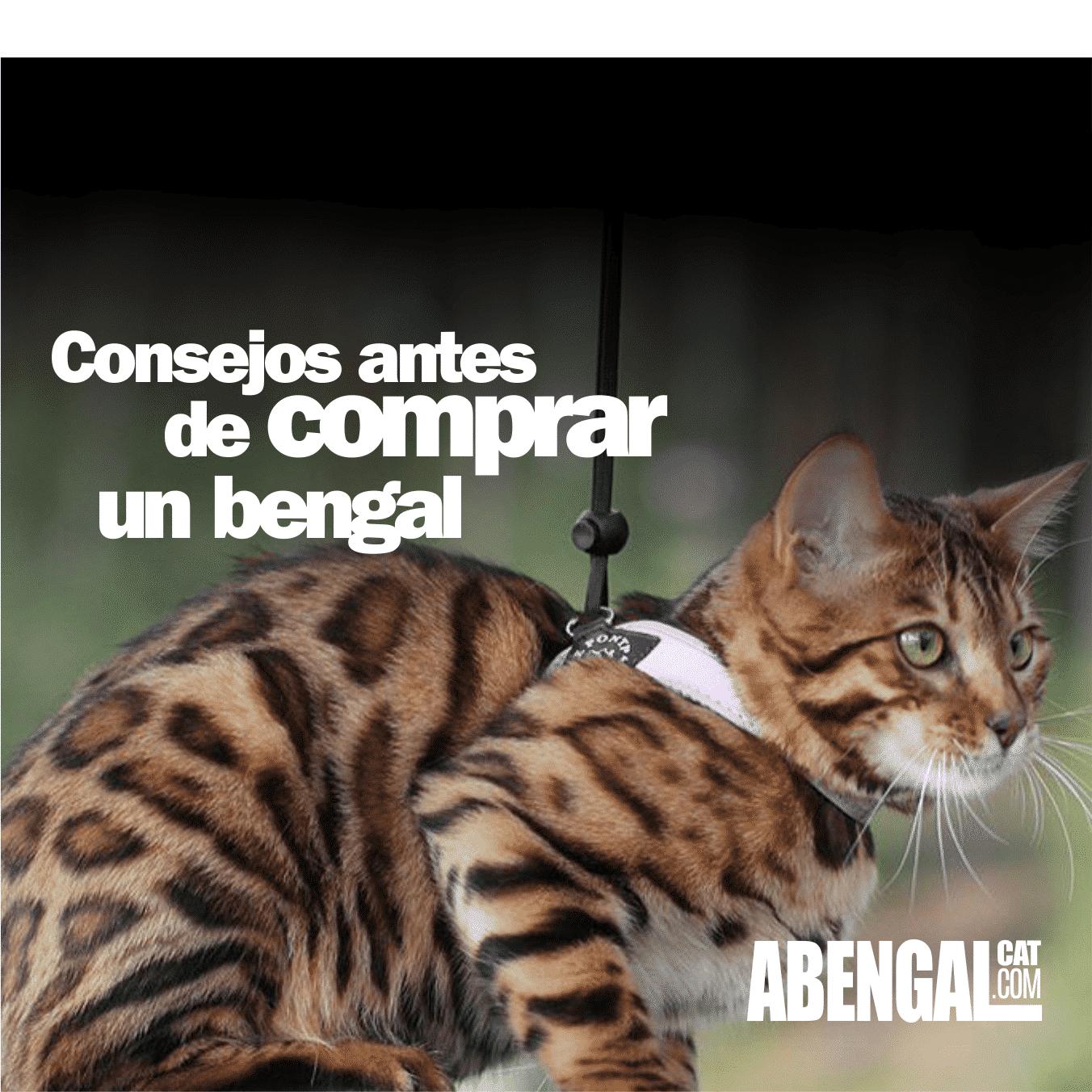 consejos-antes-de-comprar-un-gato-bengali-2