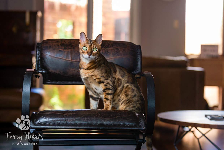cosas que necesita un gatito bengal 11