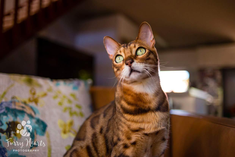cosas que necesita un gatito bengal 2