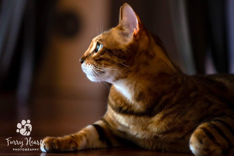 cosas que necesita un gatito bengal 4