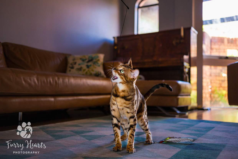cosas que necesita un gatito bengal 7