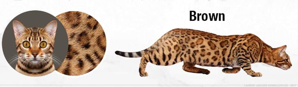 gato-bengal-brown