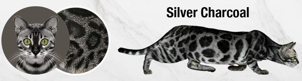 gato-bengal-charcoal-silver