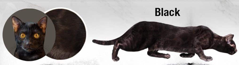 gato-bengal-negro