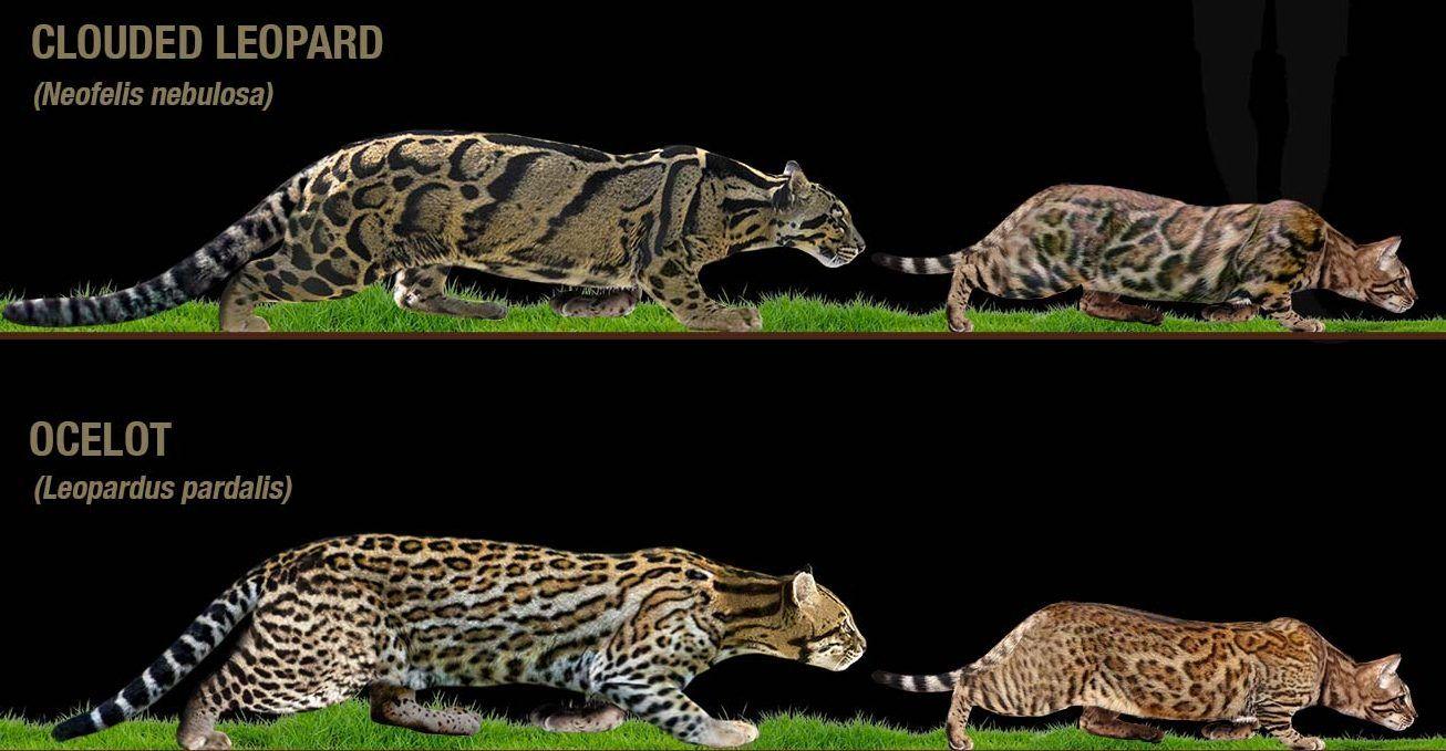 gato-bengal-rosettes-wildcats