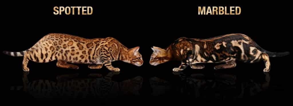 gato-bengal-spotted-vs-marbled