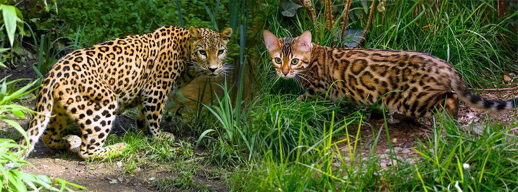 gato-bengal-vs-leopard-rosettes