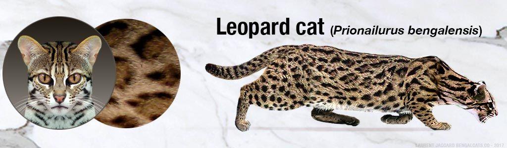 leopardo-asiático-color-pattern