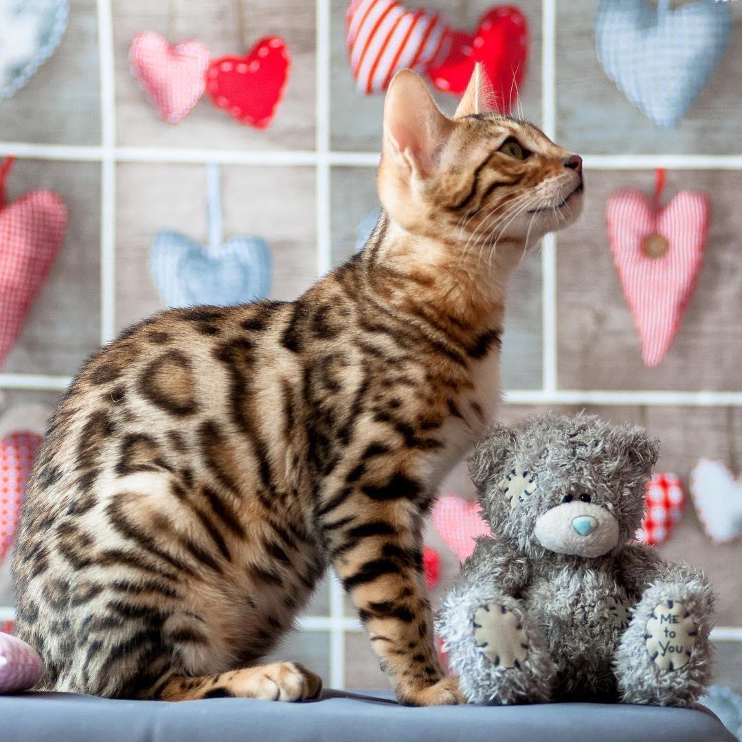 por qué los gatos babean 4