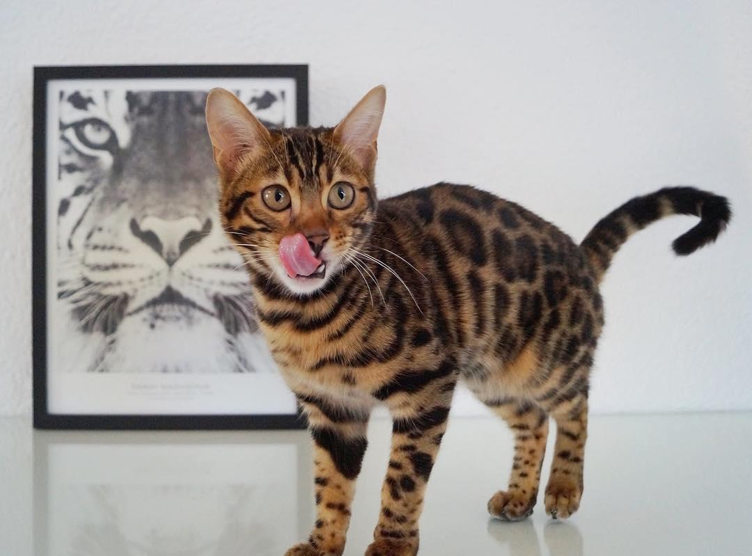 por qué los gatos babean 5