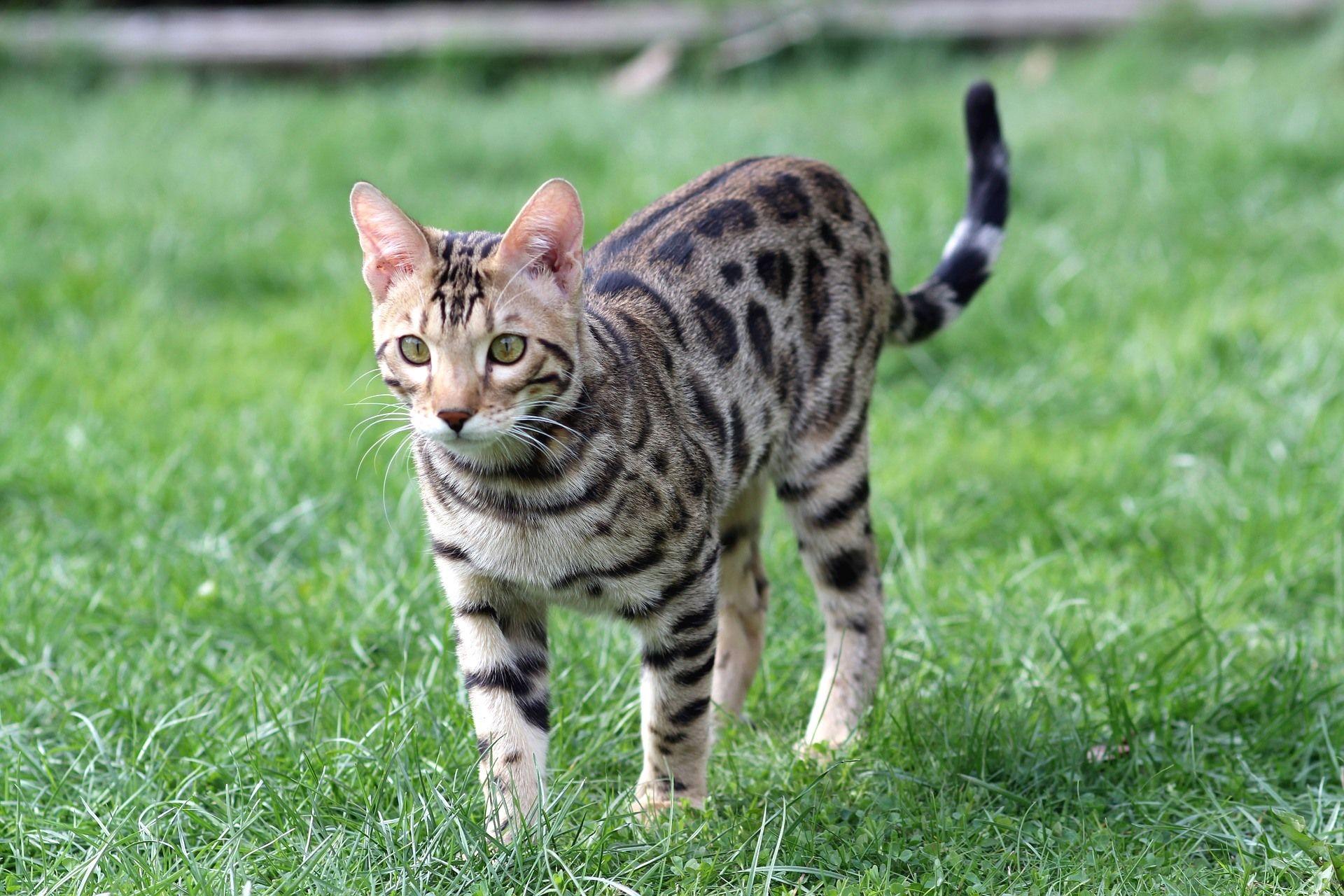 alergias a los gatos - gato bengali 2
