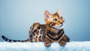 alergias a los gatos - gato bengali 3