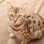 ¿Es un Bengalí un gato domestico para niños?