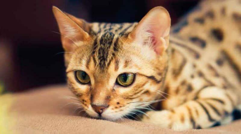 gato domestico