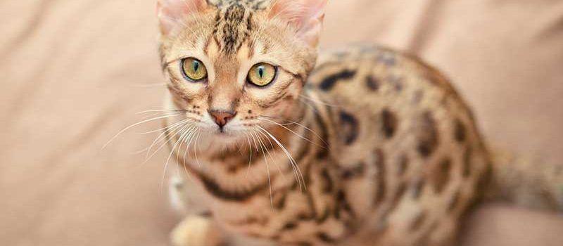 gato-bengali-gato-domestico