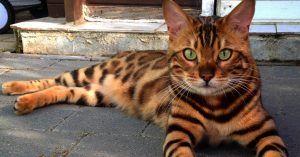 Gatos que parecen tigres 2