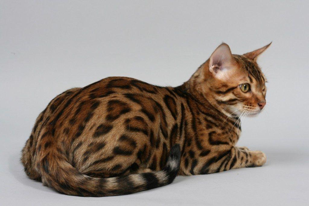 Gatos que parecen tigres 3