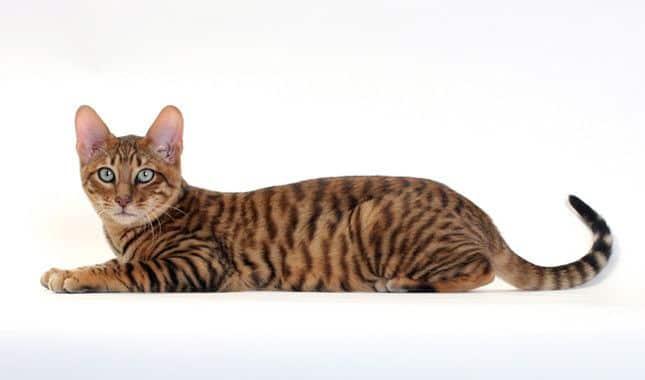 Gatos que parecen tigres - toyger