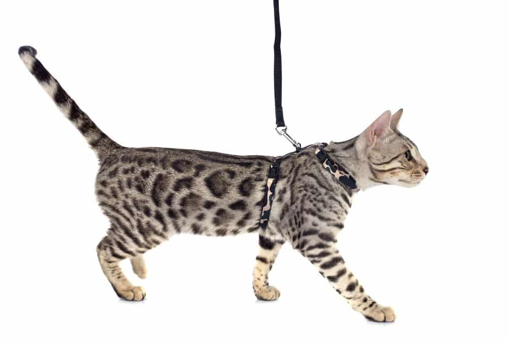 bengal-cat-on-leash