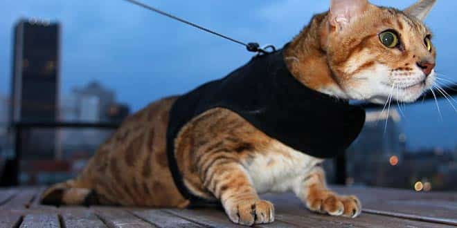 bengal-cat-on-leash3